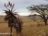 Klipfontein Farm Aloes (9)