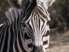 Harold Johnson Nature Reserve - Tugela - Zebra (2)