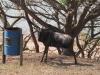 Hazelmere Dam - Umsinsi Reserve -  Wildebeeste