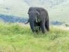 hlabisa-umfolosi-ezemvelo-corridor-road-elephant-1