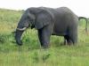 hlabisa-umfolosi-ezemvelo-corridor-road-elephant-2