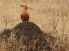 Hluhluwe - Birds - African Hoepoe (1)