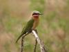Hluhluwe - Birds - Bee eater (7)