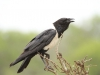 Hluhluwe - Birds - Pied Crow
