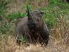Hluhluwe - Black Rhino (2)