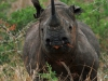 Hluhluwe - Black Rhino (3)