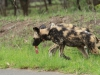 Hluhluwe - Wild Dog pack (13)