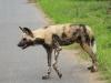 Hluhluwe - Wild Dog pack (16)