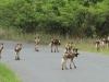 Hluhluwe - Wild Dog pack (2)