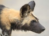 Hluhluwe - Wild Dog pack (3)