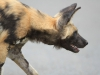 Hluhluwe - Wild Dog pack (4)