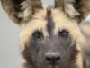 Hluhluwe - Wild Dog pack (7)