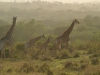 Hluhluwe - giraffe (2)
