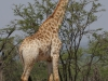 Hluhluwe - giraffe (3)