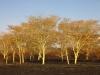 Hluhluwe - Fever tree forest N2 (2)