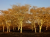 Hluhluwe - Fever tree forest N2 (3)