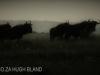 Umgeni Valley Reserve Blue Wildebeeste