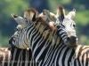 Umgeni Valley Reserve zebra (10)