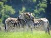 Umgeni Valley Reserve zebra (11)