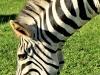 Umgeni Valley Reserve zebra (8)