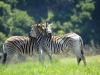 Umgeni Valley Reserve zebra (9)