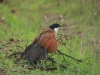 Ithala -  Birds - Burchells Coucal (6)