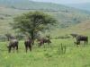 Ithala - Game - Blue Wildebeeste