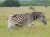 Ithala - Game - Zebra (1)