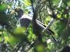 Ixopo Buddhist Retreat -  Rock Pigeon on trail