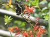 Ixopo Buddhist Retreat - butterflies (2)