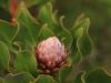 Ixopo Buddhist Retreat - forest protea