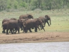 Josini Dam Elephant at water   (1)