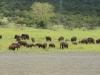 Josini Dam Elephant at water   (2)