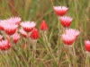 Kamberg - Everlasting flowers  (1)