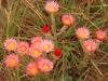 Kamberg - Everlasting flowers  (2)
