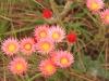 Kamberg - Everlasting flowers  (3)