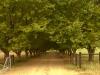 Kamberg - Row of Plane  trees - Farm entrance