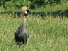 Karkloof Conservancy Crowned Crane (2)