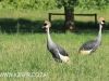 Karkloof Conservancy Crowned Crane (3)