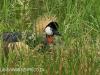 Karkloof Conservancy Crowned Crane nesting
