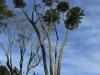 Shawswood gumtrees (1)