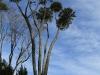 Shawswood gumtrees (2)