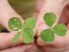 kings-grant-st-isadore-four-leaf-clover