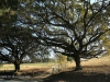 Caversham - Post Road Oaks (4)