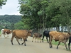 Louwsburg - Cattle crossing