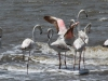 False Bay - Flamingos (5)