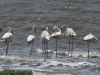 False Bay - Flamingos (7)