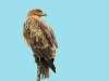 Mkuze Brown Snake eagle (20)