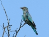 Mkuze - Lilac breasted roller