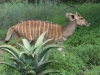 Mkuze Nyala (4)